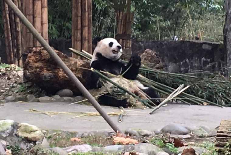 chengdu - panda eating close