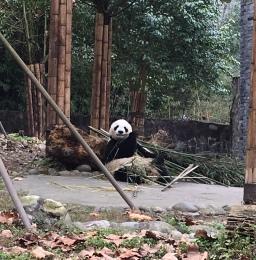 chengdu - panda eating first