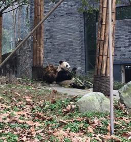 chengdu - panda from side