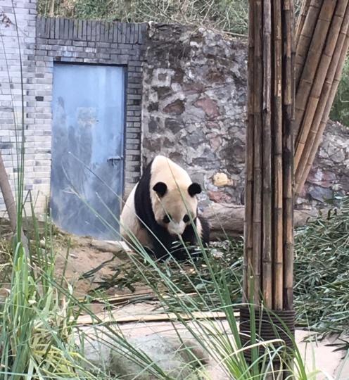 chengdu - panda front