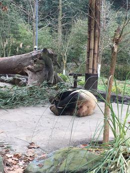 chengdu - panda lying paw