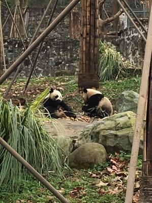 chengdu - pandas eating