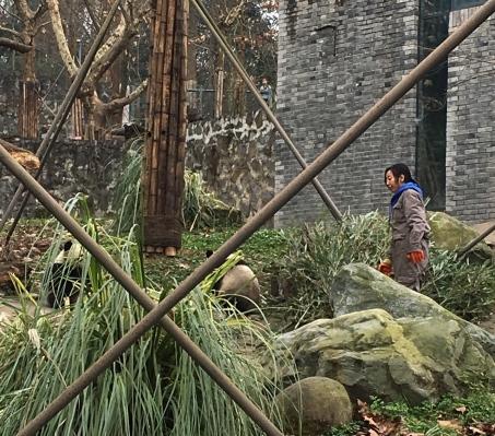 chengdu - pandas with caretaker