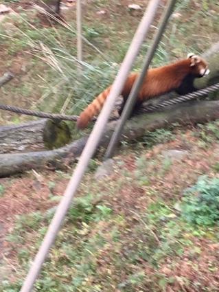 chengdu - red panda whole