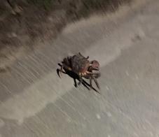 Siargao crab