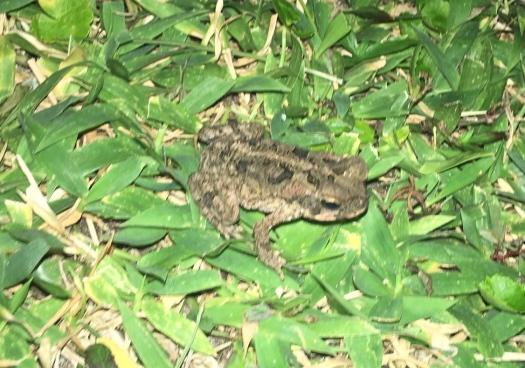 Siargao frog 2
